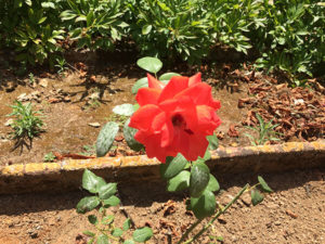 rose of El Viver d'Argentona